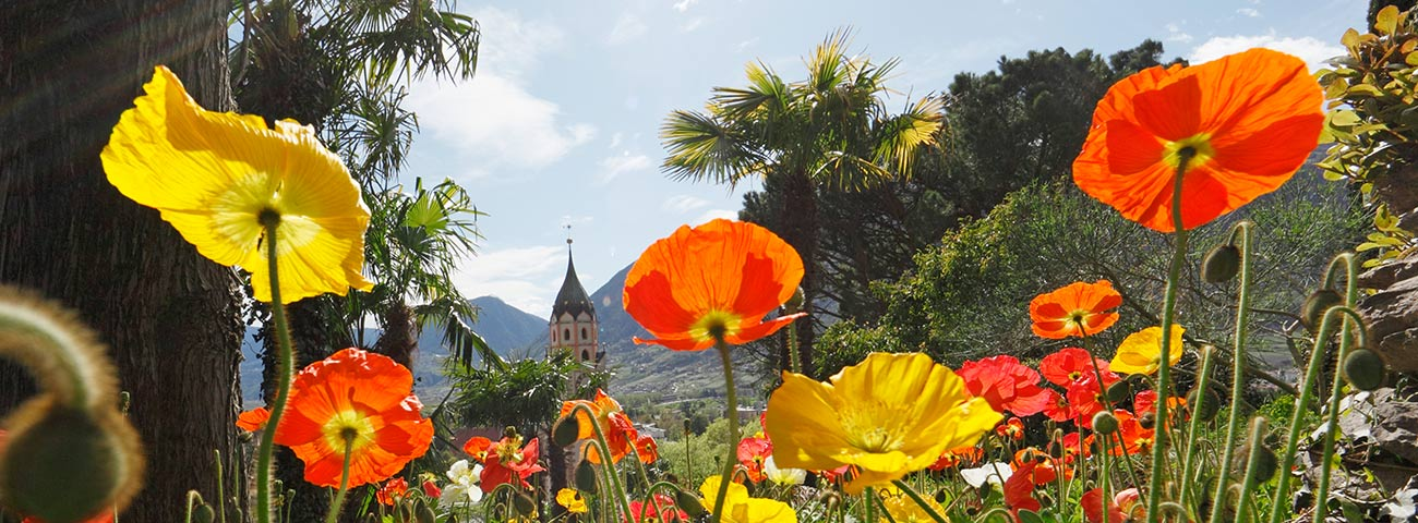 Meadow full of yellow and red poppies and church of Merano in the background